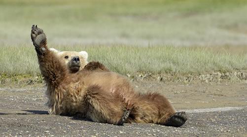 alaska_bears2
