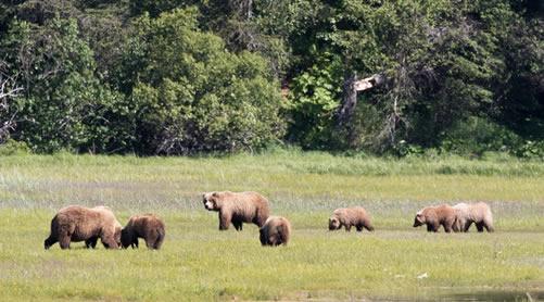 Bears_alaska