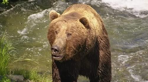 katmai_bears
